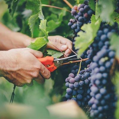 مزایای مصرف انگور